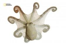 変装の得意なタコ、皮膚の凹凸を操り海藻に擬態