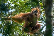 オランウータンの出産と森の果実サイクルの関係を解明