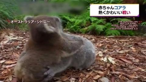 赤ちゃんコアラ、シドニーの公園で熱くかわいい戦い
