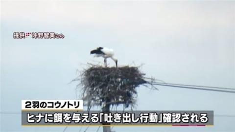 徳島・鳴門で野生コウノトリの卵が孵化、兵庫・豊岡以外で初