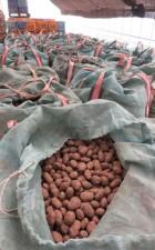 4月下旬に作付けが行われるトヨシロの種イモ。秋の原料争奪戦が激化している=十勝管内