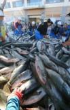 秋サケ、今年も不漁か 北海道への来遊予測