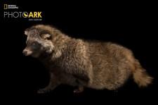 タヌキ 古くから日本人のすぐ近くにいた動物。海外では「吠えないイヌ」と呼ばれることも。アトランタ動物園で撮影。(Photograph by Joel Sartore, National Geographic Photo Ark)
