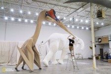 米国ミネソタ州の造形スタジオで制作中の等身大のケツァルコアトルス・ノルトロピ(Quetzalcoatlus northropi)。空飛ぶ動物としては史上最大だ。(PHOTOGRAPH BY ROBERT CLARK)
