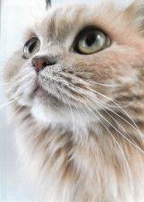 生涯500匹のネコと暮らした文豪、大佛次郎の記念館で写真展がスタート!夫人の愛猫展も同時開催