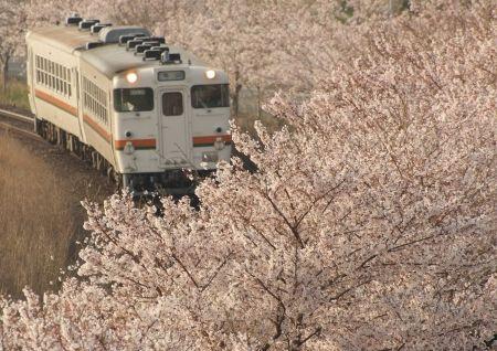 満開の桜並木を進むキハ48形