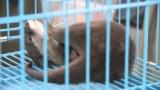 コツメカワウソ密輸で男2人逮捕 ペットとして人気