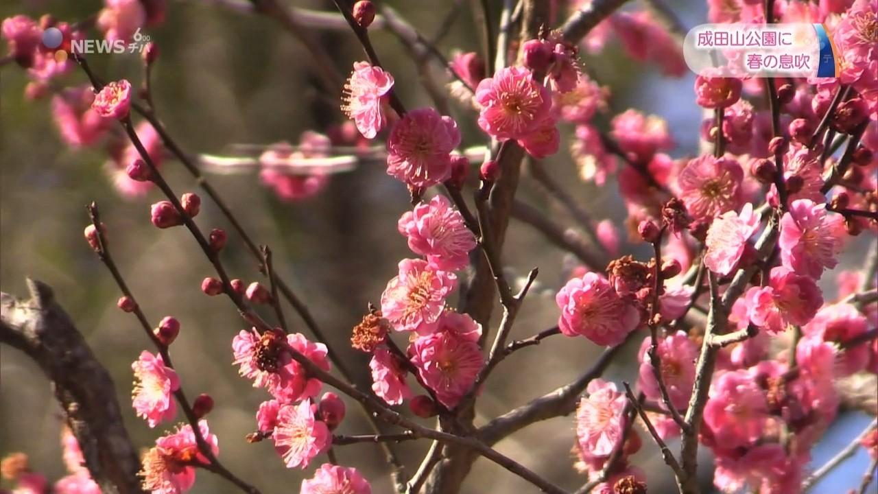 成田山公園に春の息吹「梅まつり」 白梅や紅梅など500本が咲く