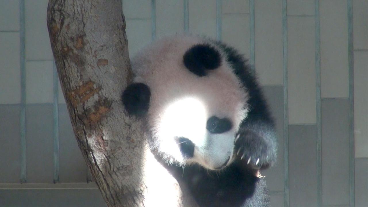 上野動物園でパンダ・シャンシャンが公開