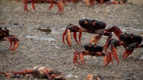ピッグス湾侵攻、産卵期を迎えたオカガニの大群