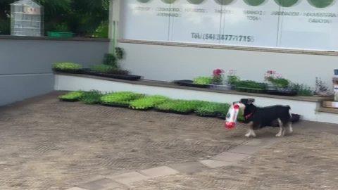 """自分のモノは自分で、好物を""""買いに行く""""ブラジルの犬"""