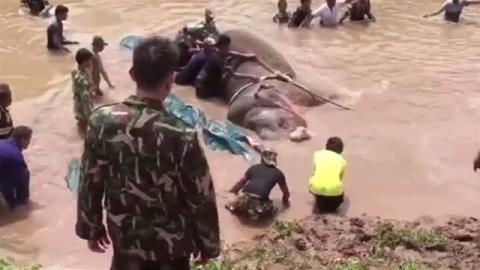 タイの川で溺れたゾウ、地元住民100人とショベルカーで救助