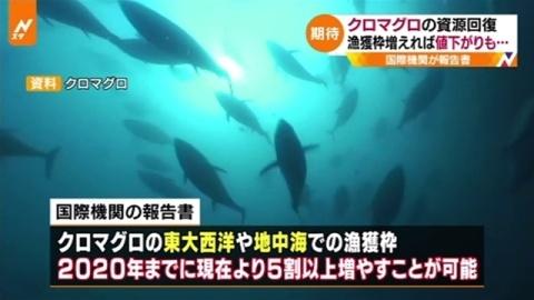 クロマグロの資源回復、漁獲枠増えれば値下がりも・・・