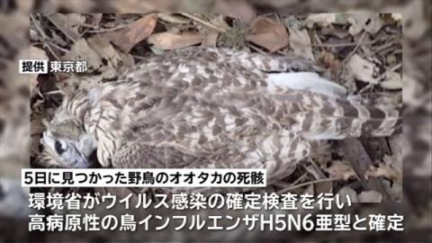 都内で見つかったオオタカ、高病原性の鳥インフルと確認