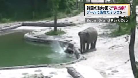 プールに落ちた子ゾウの救出劇 韓国の動物園