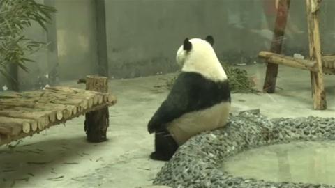 中国の動物園で暑さ対策、パンダに専用プール