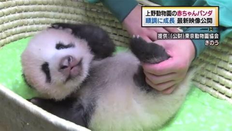 上野動物園の赤ちゃんパンダ 最新映像公開、順調に成長